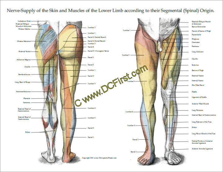 Modern Nerve Anatomy Of Leg Crest - Anatomy And Physiology Biology ...