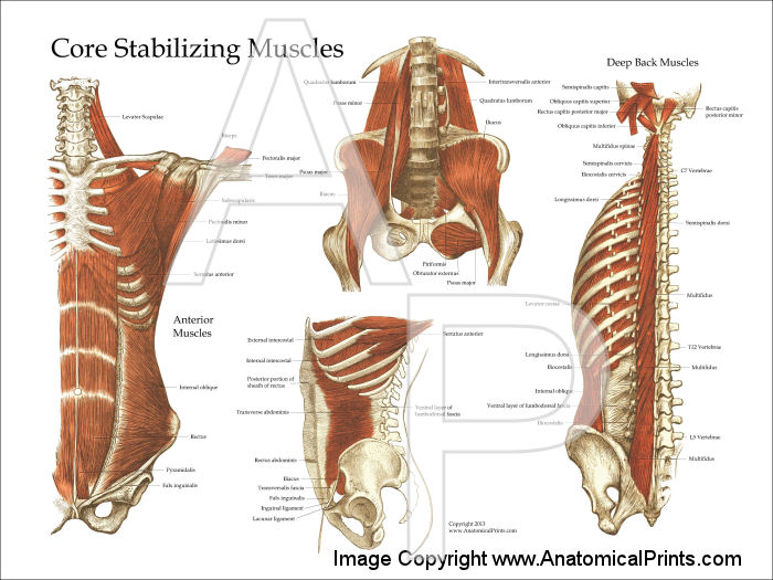 Deep and Core Stabilizing Muscles Posters 18 X 24