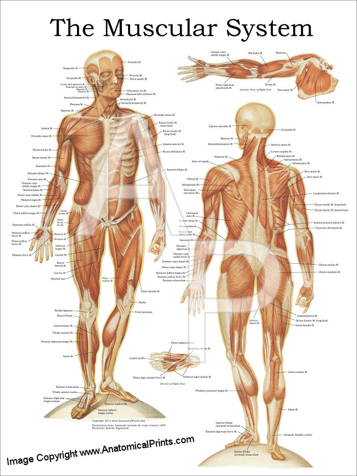 the muscular system anatomy poster - anterior and posterior, Muscles