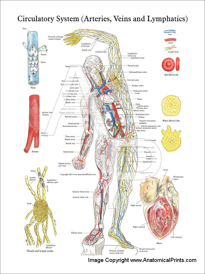 Anatomy circulatory system