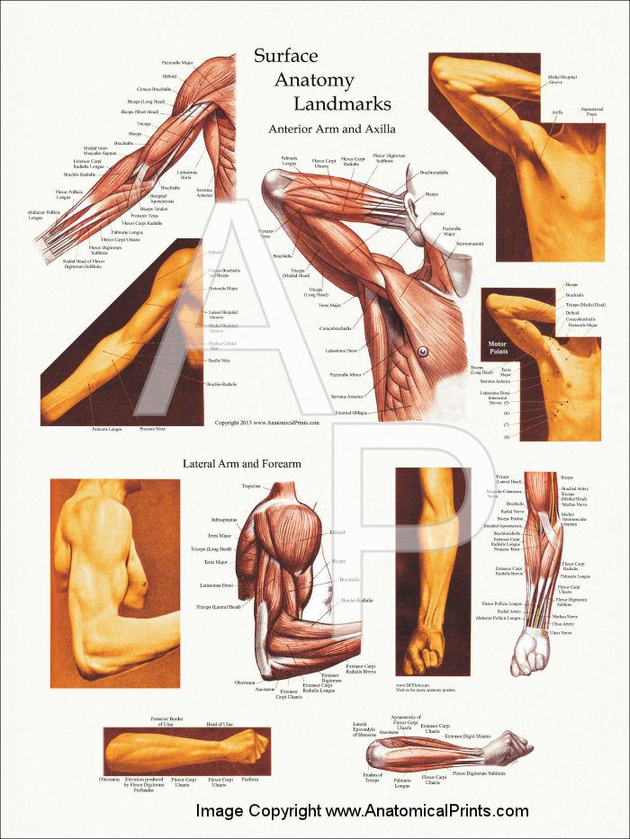 human anatomy upper body muscles - body & anatomy, Muscles