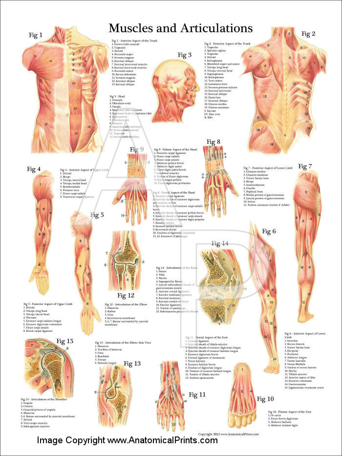 muscles and articulations anatomy poster, Muscles