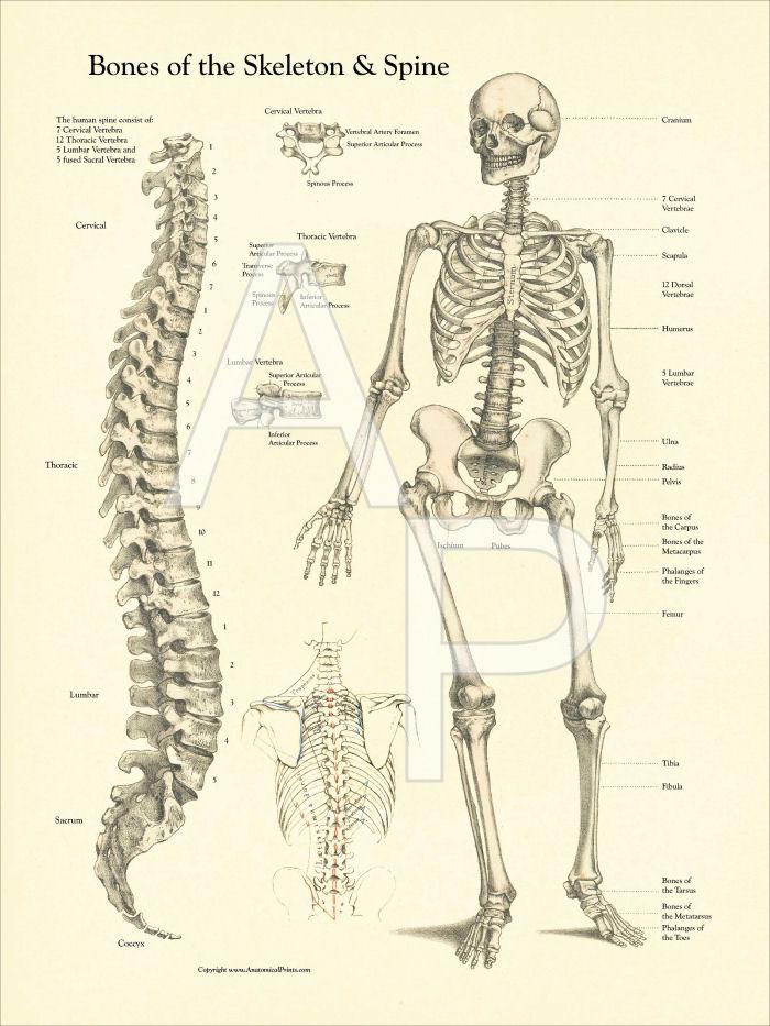 bones of the skeleton and spine poster, Skeleton
