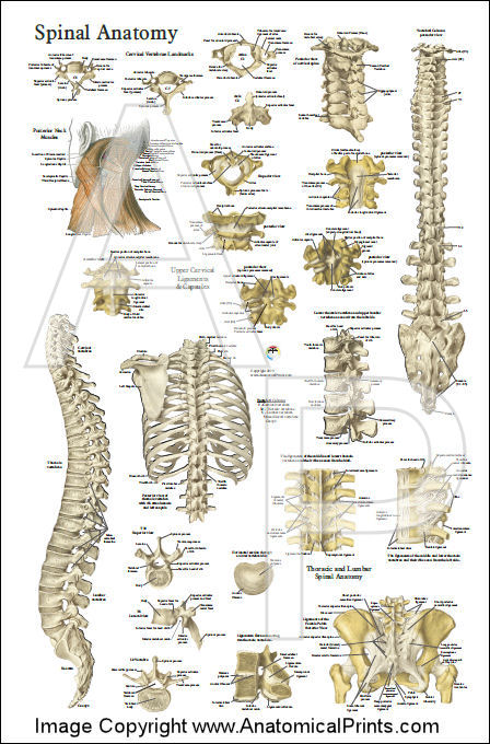 Chirovsmed likewise Index together with Nerve Innervation Charts also Chiropractic Design Ideas as well Index. on chiropractic office posters