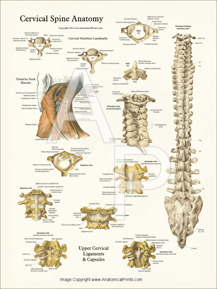 Spine vertebrae anatomy