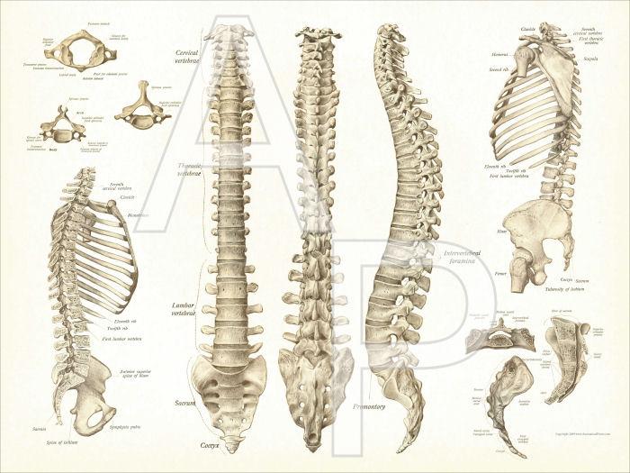 Spine Anatomy Poster 18 X 24