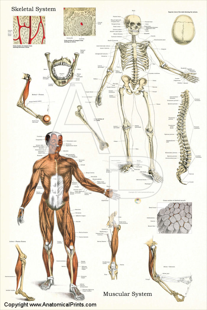 Skeletal and Muscular Systems Anatomy Chart 24 x 36